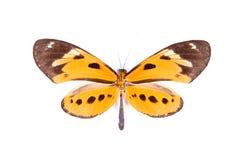 Black and orange butterfly Athyrtis mechanitis Stock Image