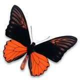 Black and orange butterfly Royalty Free Stock Image
