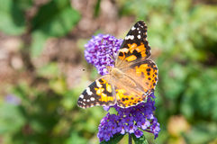 Black and orange butterfly. Beautiful black and orange butterfly on a purple butterfly bush bloom Stock Photography