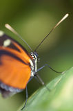 Black and orange butterfly Danaus genutia Royalty Free Stock Photography