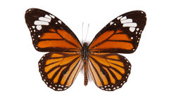 Black and orange butterfly Danaus genutia isolated Royalty Free Stock Photography