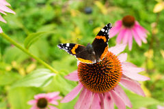 Black and Orange Butterfly on Flower Royalty Free Stock Images