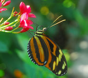 Black orange Butterfly insect Stock Images