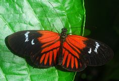 Black orange Butterfly insect Stock Photography