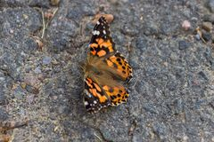 Black and orange butterfly in La Mauricie National Park Canada. Black and orange butterfly in La Mauricie National Park in Canada stock images