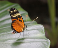 Black and Orange Butterfly on a Leaf. Black, yellow and orange colored butterfly on a leaf royalty free stock images