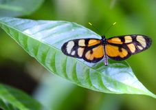 A black and orange butterfly on a leave. A beautiful black and orange butterfly resting on a leave, green blurred background royalty free stock photos