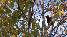 Black and orange cats high in a tree stock footage