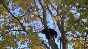 Black and orange cats high in a tree. Against the sky view camera from the bottom up stock video footage
