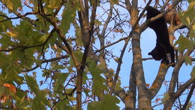 Black and orange cats high in a tree. Against the sky view camera from the bottom up stock footage