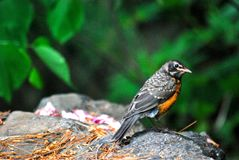 Bird on the rock with petals in the Central Park NY royalty free stock photography