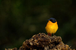 Black-and-orange flycatcher Stock Image