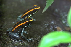 Black and Orange Frogs. Photo of Black and Orange Frogs Stock Photo