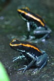 Black and Orange Frogs. Photo of Black and Orange Frogs Stock Image