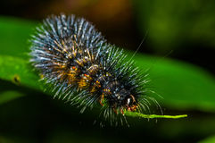 Black and orange hairy caterpillar over a green leaf insideof the amazon rainforest in Cuyabeno National Park, in Stock Photography