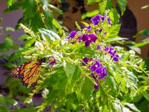 Black and orange Monarch butterfly feeding on a purple Duranta flower royalty free stock images