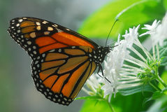 Black orange monarch tiger Butterfly insect Stock Photo