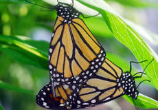 Black orange monarch tiger Butterfly mating Royalty Free Stock Photography