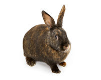 A Black and Orange Rabbit Isolated on White Stock Photo