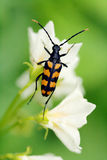 Black orange striped beetle. Black beetle with orange stripes, sitting on white flower Stock Photos