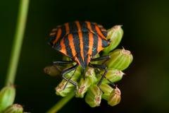 Black orange striped bug Royalty Free Stock Image