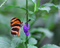 The black with orange stripes butterfly sitting on purple flower Stock Photo