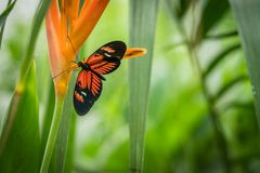 Black and orange butterfly on a flower. Black and orange tropical butterfly sitting on a flower in a botanical garden royalty free stock photo