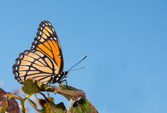 Black and orange Viceroy butterfly Stock Photo