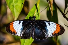 Black, orange, white and blue Butterfly Heliconius on green leaf. Photographed at the Butterfly World Coconut Creek Florida FL United States US. wings open stock image
