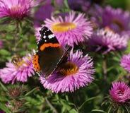 Black Orange White Butterfly on Purple Multi Petal Flower during Daytime Royalty Free Stock Images