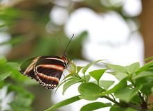The black with orange and white stripes butterfly sitting on green leave Stock Photos