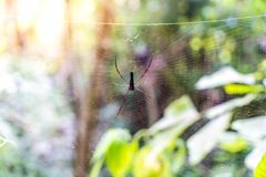 Black Orb-weaver Spider (Nephila kuhlii). On cobweb Royalty Free Stock Photography