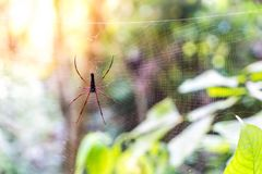 Black Orb-weaver Spider (Nephila kuhlii). On cobweb Stock Photo