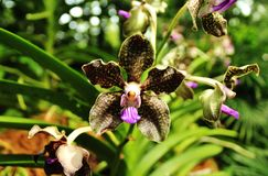 Black orchid Stock Images