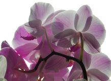 Black orchid white orchid black black background stock photography