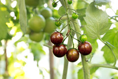 Black organic tomatoes Stock Images