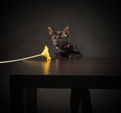 Black oriental cat Royalty Free Stock Photography