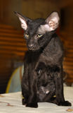 Black oriental kitten royalty free stock images