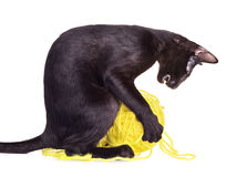 Black Oriental Shorthair Cat Playing With Woolen Ball Royalty Free Stock Photo