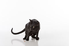 Black Oriental Shorthair Cat Sitting on White Table with Reflection. White Background. Food on the ground. Stock Images