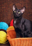 Black Oriental Shorthair Cat Sitting In Wooden Basket Royalty Free Stock Photos