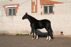Black Orlov trotter. At the exhibition. An exterier Royalty Free Stock Photo