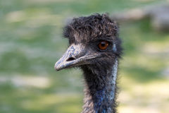 Black ostrich Stock Photography