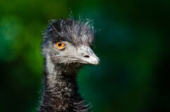 Black Ostrich Head Royalty Free Stock Images