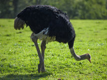 Black Ostrich pecking at the ground. Black ostrich pecks at the grass royalty free stock images