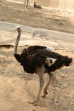 Black ostrich in zoopark Royalty Free Stock Images