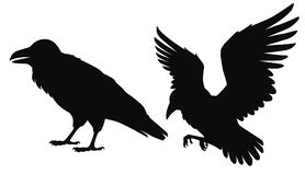 Vector isolated silhouettes of a sitting and flying ravens,. Black outline illustration of birds royalty free illustration