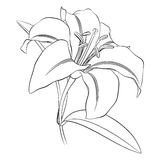 Black outline of a lily flower on a white background stock illustration