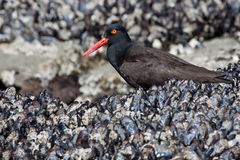 Black Oyster Catcher Royalty Free Stock Photo