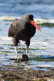 Black Oyster Catcher. This black oyster catcher found a little mollusk for a snack along the beach at low tide Stock Photos